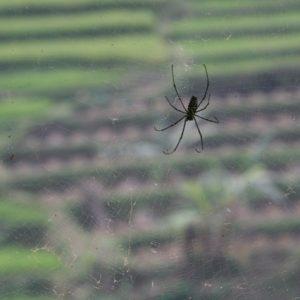 Rice paddy spider
